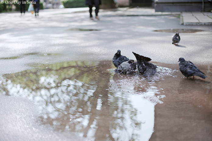 pigeons bathing in a puddle