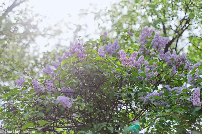 lilac bush in blossom