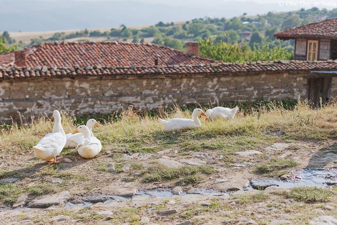 ducks at the village of Zheravna