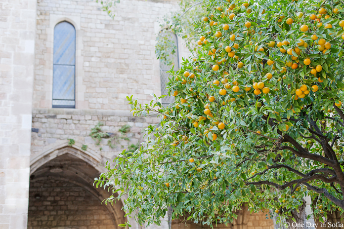 lemon tree in Barcelona