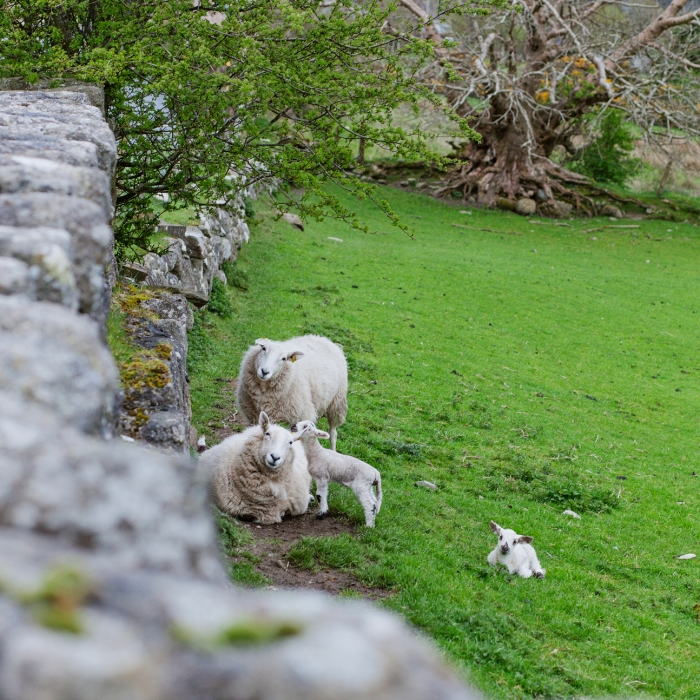 sheep in Lacken, Ireland